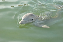 Windley - The Bottlenose Dolphin